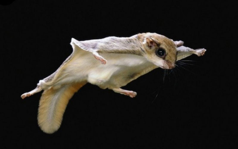 New Hampshire flying squirrels photo of the Northern Flying Squirrel