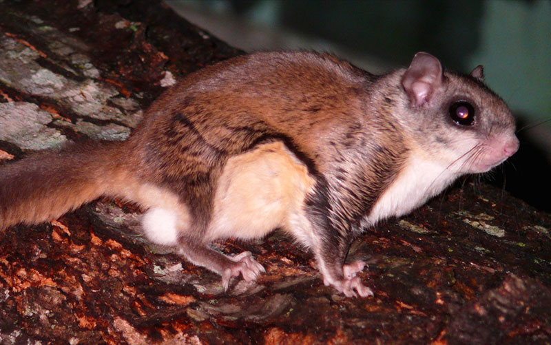 New Hampshire flying squirrels photo of the Southern Flying Squirrel